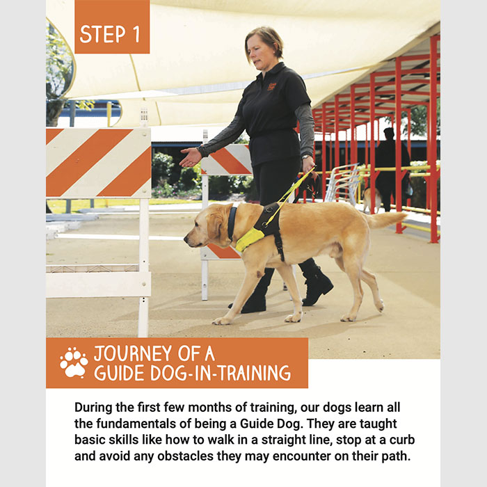 Training Process of a Guide Dog